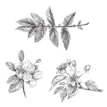 A Set Of Graphics Apple Blossom Branch