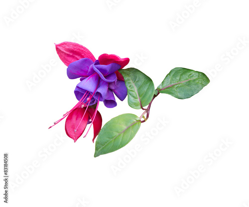 Pink and purple fuchsia closeup isolated on white. Wallpaper Mural