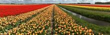 Tulip Field, Holland