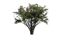 Crape Myrtle - Tree On White Background