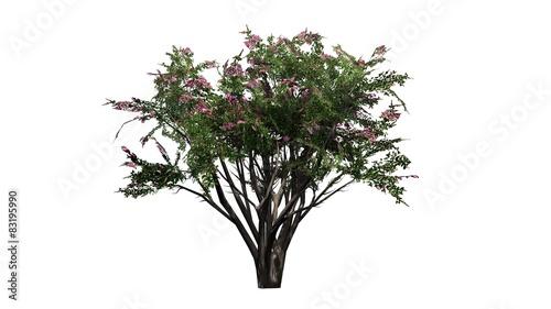 Fototapeta Crape Myrtle - tree on white background  obraz