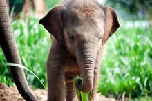 Relationship Thai Elephant Cal...