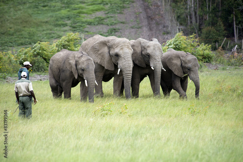 Pinturas sobre lienzo  Wildlife rangers working with African elephants in South Africa
