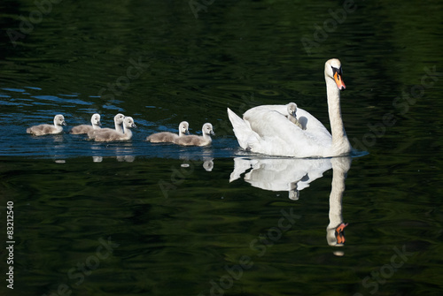 Poster Cygne swan and chicks