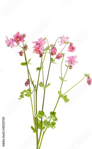 Obraz na plátně aquilegia flower isolated