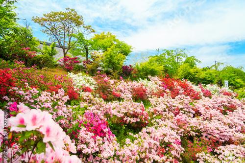 Papiers peints Azalea Field of flowers of Japanese Azalea