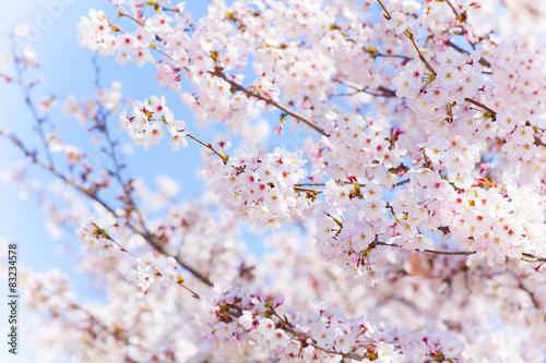 Foto op Plexiglas Kersen 青空と桜
