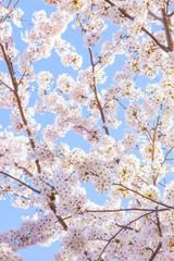 Fototapeta満開の桜