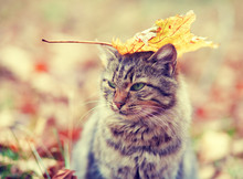 Siberian Cat Sitting In The Autumn Forest
