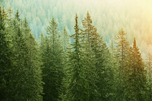 Green Coniferous Forest Lit By...