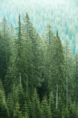FototapetaGreen coniferous forest with old spruce, fir and pine trees