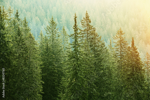 Papiers peints Forets Green coniferous forest lit by sunlight