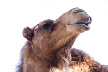 Camel - Camelus Dromedarius