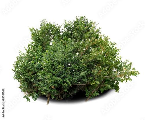Photo  Boxwood shrub.