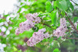 Beautiful branch purple lilac flowers outdoors