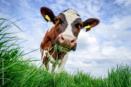 Photo Stands Cow Rindvieh -rotbunte Kuh schaut kauend unter sich ins Gras