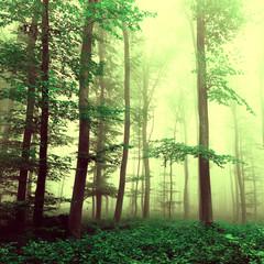 Fototapeta Vintage Fantasy yellow green foggy beech tree forest