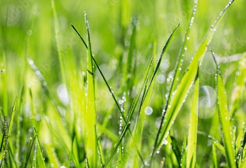 Źdźbło trawy w porannej rosy