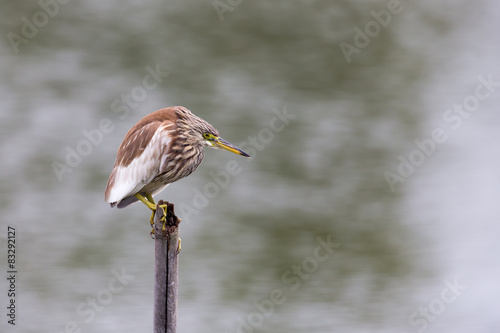 Lonely Chinese Pond-Heron Poster