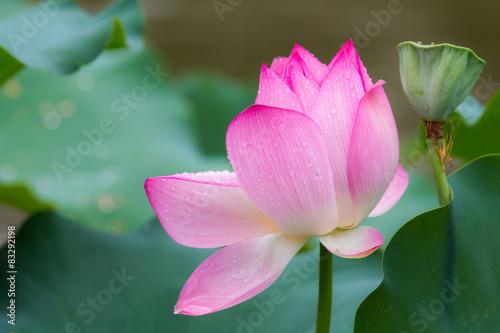 Foto op Aluminium Lotusbloem Lotus with green leaf