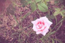 Vintage Pink Roses With Blurred Garden Background