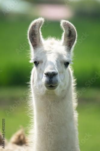 Weißes Lama mit langem Hals blickt aufmerksam