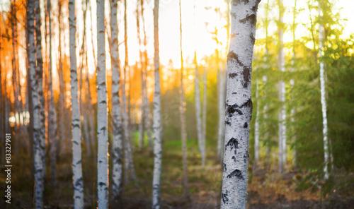 Fotografie, Obraz  Birch tree at sunset