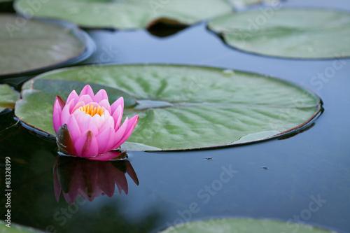 Foto op Canvas Waterlelies Seerose im Teich