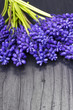 Muscari bouquet on a dark wooden table