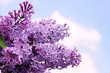 Beautiful violet lilac on the blue sky