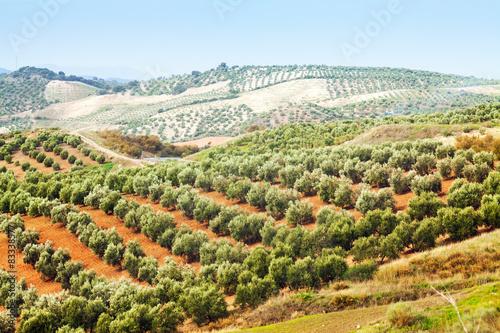 Stampa su Tela Olives plant among hills