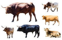 Set Of Bulls And Cows  Over White