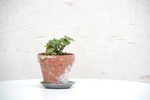 Small Geranium Plant In Terracotta Pot