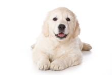 Golden Retriever Puppy Lying A...