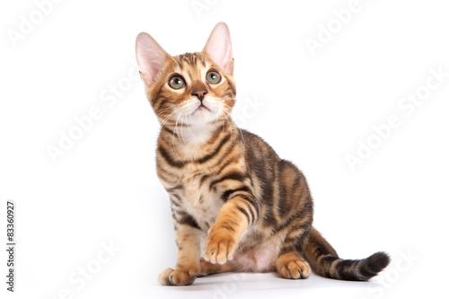 Bengal kitten sitting with paw raised and looking up Wallpaper Mural