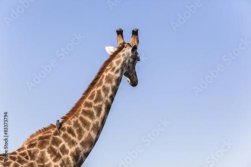 Photo  Giraffe Birds Relationship Nature