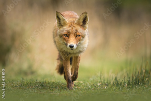 Vászonkép Wild red fox