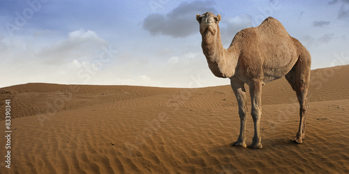 Spoed Foto op Canvas Kameel Camel standing in front of the desert.