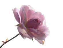 Garten Rose Im Gegenlicht