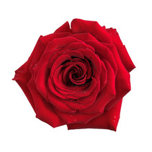 Big Red Rose Flower Isolated