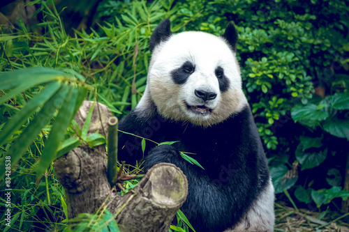 Stickers pour portes Panda Giant panda