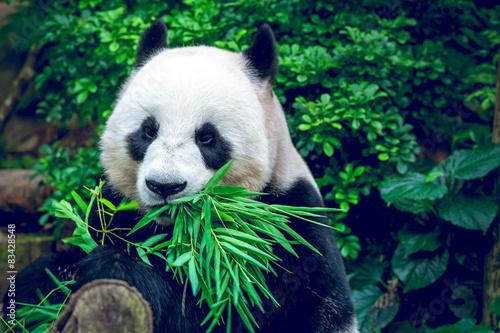 Montage in der Fensternische Pandas Giant panda