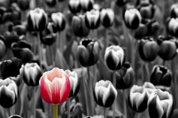 fototapeta Czerwony tulipan wśród tulipanów monochromatycznych