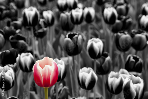 Foto  Red tulip among monochrome  tulips
