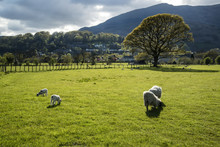 Spring Lambs In Sunlight In Front Of Mountain In Lake District I