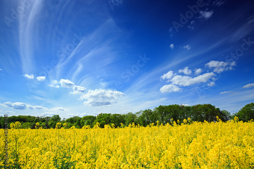 Obrazy Polska beautiful-polish-landscape-flowering-rapeseed-field