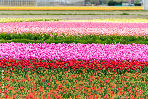Stunning colors of Netherlands Tulips #83448311