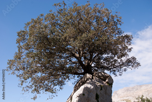 Fotografia, Obraz  holm oak on rock