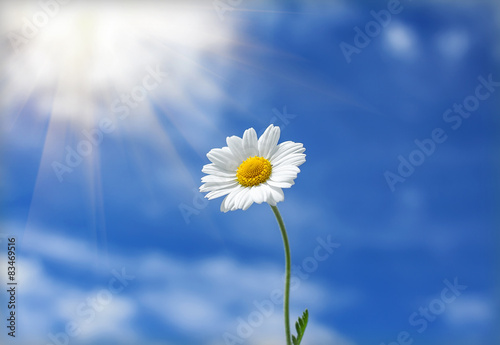 Foto op Canvas Madeliefjes daisy flower reaches for the sun