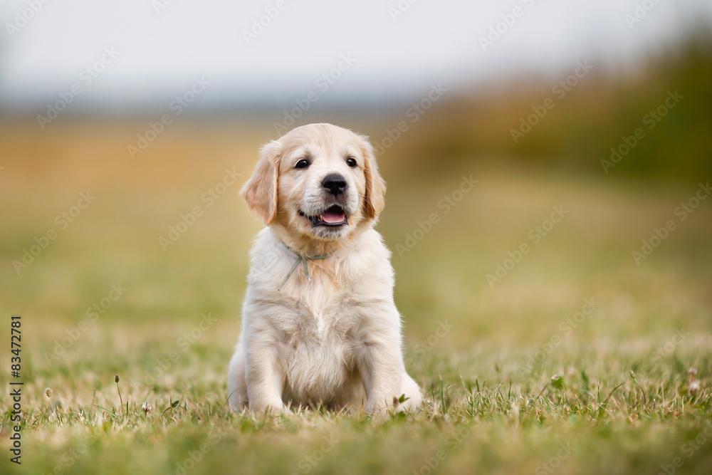 Fototapety, obrazy: Golden retriever puppy on a sunny day